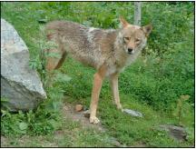 coyote2 2