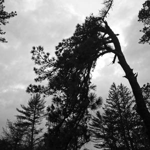 pitch pine black 2